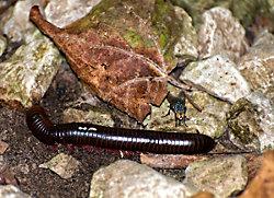 North American Millipede