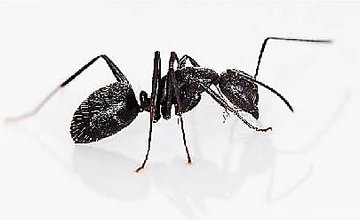 How to kill carpenter ants terro there are many different types of carpenter ants which makes diagnosing your infestation by appearance alone quite tricky since most carpenter ants in the ccuart Choice Image