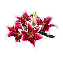 Lily Stargazer 3 Stem - colors may vary
