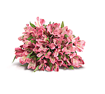 Alstroemeria 9 Stem - colors may vary