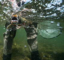 Underwater image of a salmon being caught.