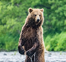 A brown bear stands on its hind legs in the Savan River.
