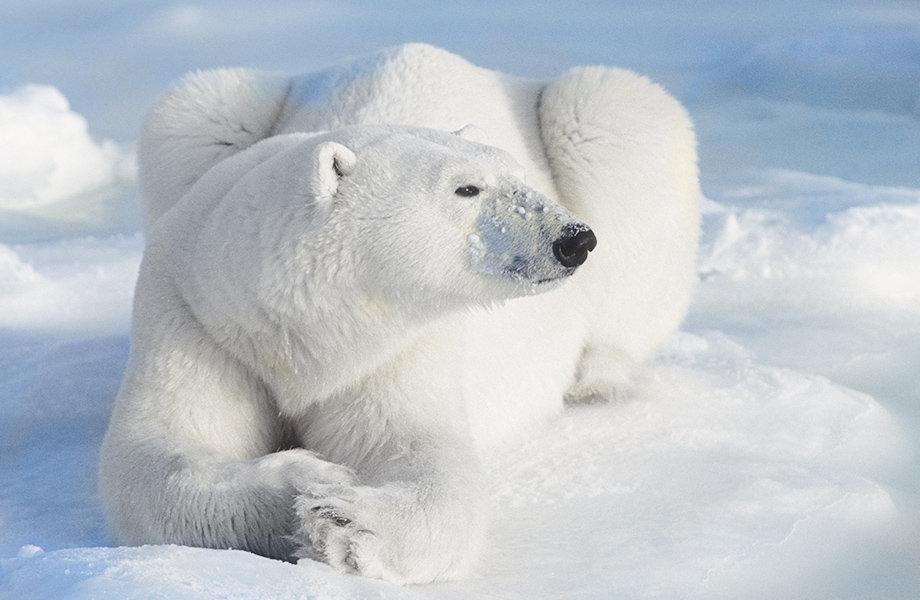 北极熊在雪地上的彩色照片。