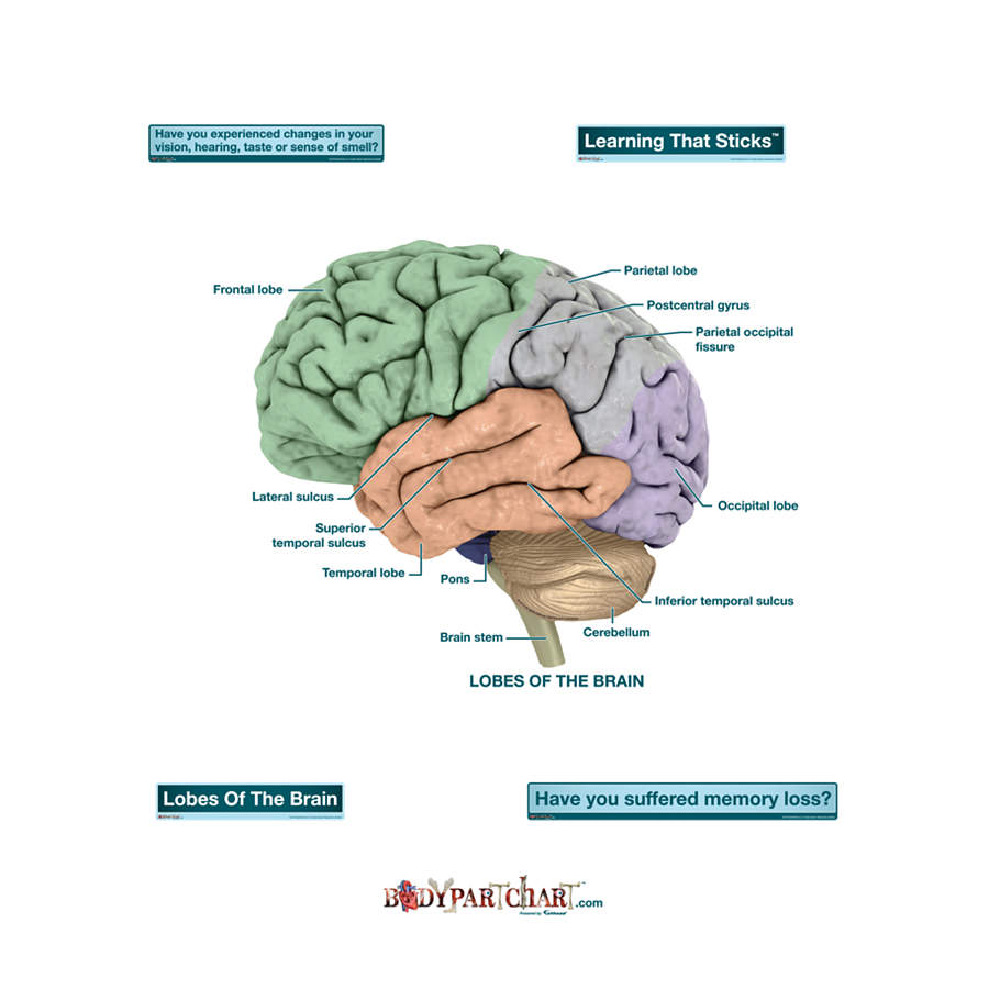 Brain Lobes – Labeled Decal