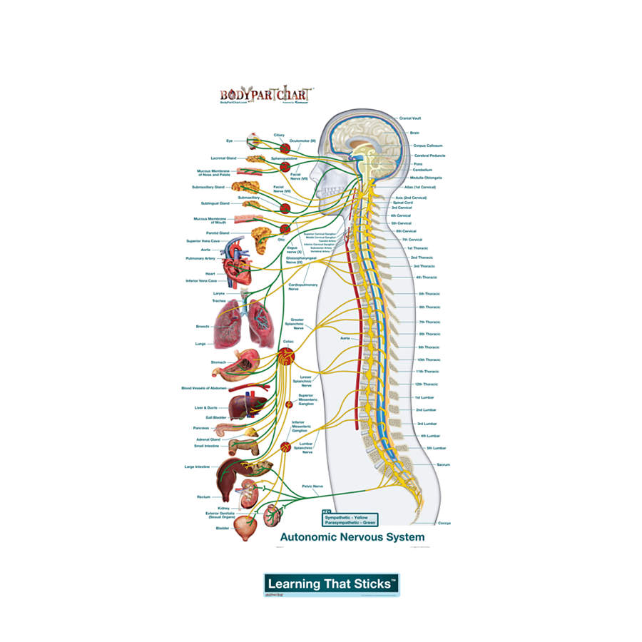 Autonomic Nervous System Lateral Labeled Decal ShopNervous System Diagram Labeled