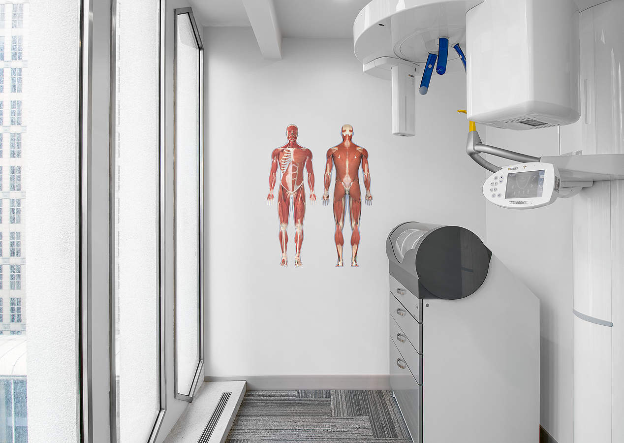 Muscular System Front And Rear View Decal Shop Fathead