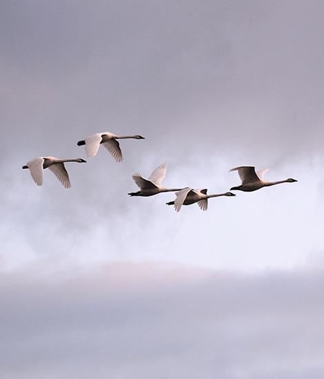 Holt Renfrew Image Of Geese Flying.
