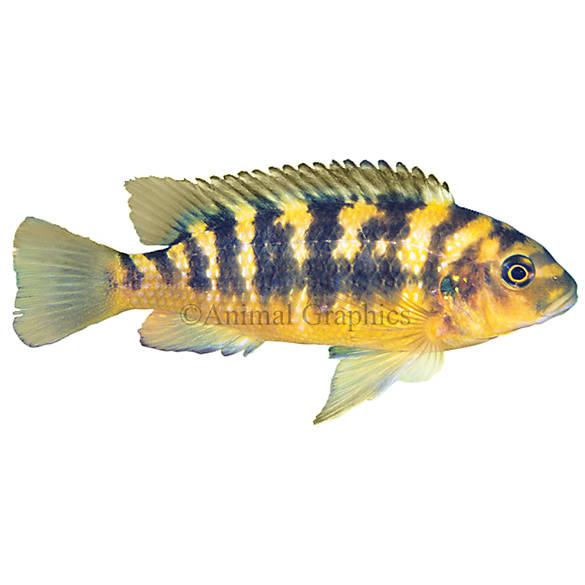 Bumblebee african cichlid fish goldfish betta more for Petsmart betta fish price