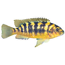 Bumblebee African Cichlid
