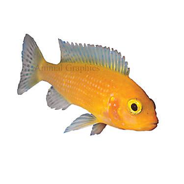 Zebra african cichlid fish goldfish betta more petsmart for Petsmart live fish