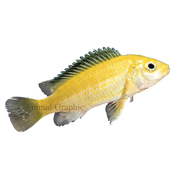 Electric yellow labidochromis african cichlid fish for Petsmart betta fish price