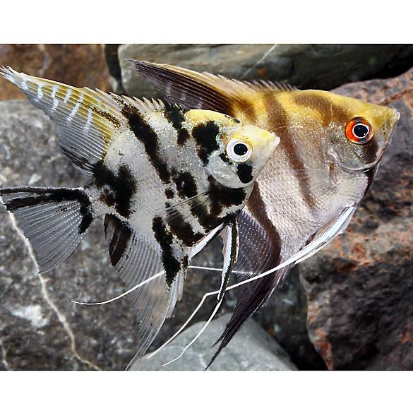 angelfish fish goldfish betta more petsmart