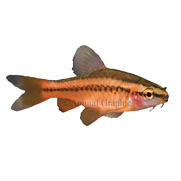 Cherry barb fish goldfish betta more petsmart for Can betta fish live with other fish