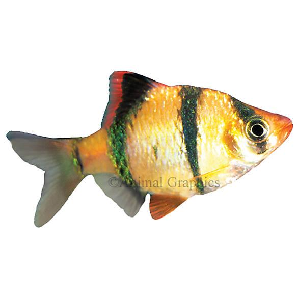 Tiger barb fish goldfish betta more petsmart for Betta fish petsmart