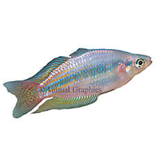 Australian rainbowfish fish goldfish betta more for Petsmart live fish