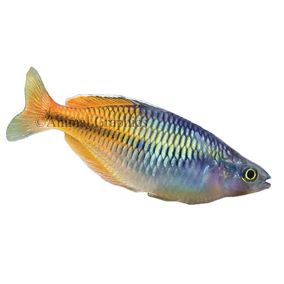 Boesemani rainbowfish fish goldfish betta more petsmart for Betta fish petsmart