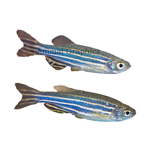 Zebra danio fish goldfish betta more petsmart for Betta fish at petsmart