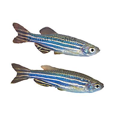 Zebra Danio Fish Goldfish Betta More Petsmart