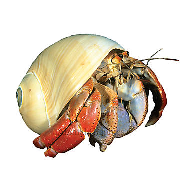 hermit crab for sale live pet fish petsmart
