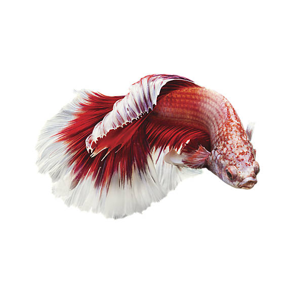 Male betta fish goldfish betta more petsmart for Betta fish tanks petsmart