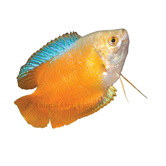 Dwarf gourami fish goldfish betta more petsmart for Betta fish tanks petsmart