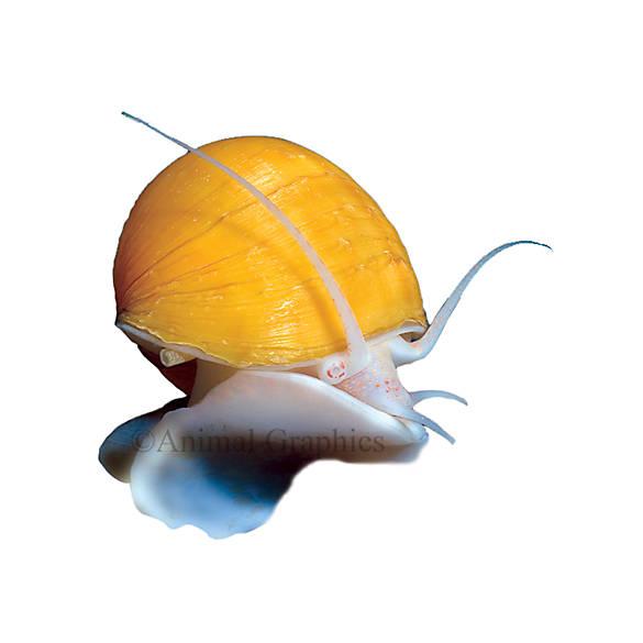 Gold mystery snail fish goldfish betta more petsmart for Petsmart betta fish price