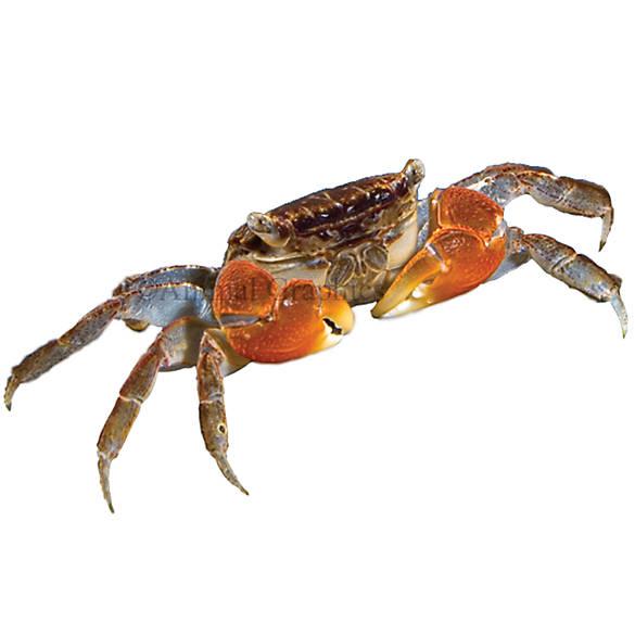 Red clawed crab fish goldfish betta more petsmart for Betta fish petsmart