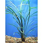 Green Mondo Grass