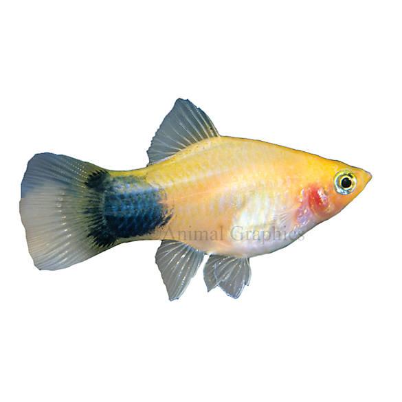 Mickey mouse platy fish goldfish betta more petsmart for Betta fish petsmart