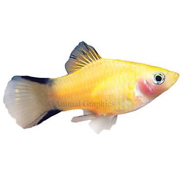 Gold twinbar platy fish goldfish betta more petsmart for Petsmart betta fish price