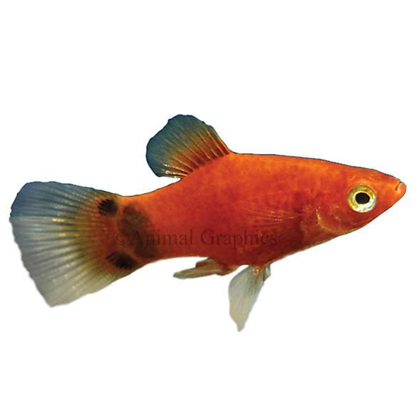 Mickey mouse platy fish goldfish betta more petsmart for Petsmart live fish