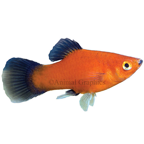 Red wag platy fish goldfish betta more petsmart for How much are fish at petsmart