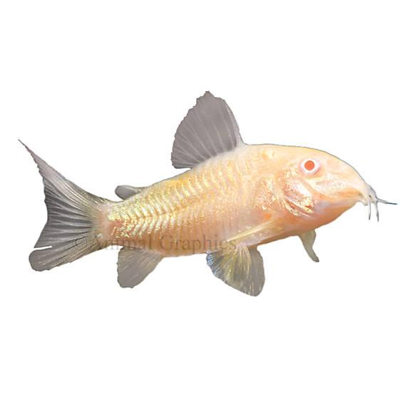 Albino cory catfish fish goldfish betta more petsmart for Petsmart live fish