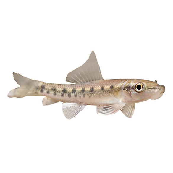 Algae eater fish goldfish betta more petsmart for Petsmart live fish