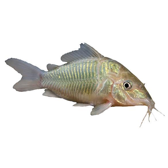 Cory catfish fish goldfish betta more petsmart for Petsmart live fish