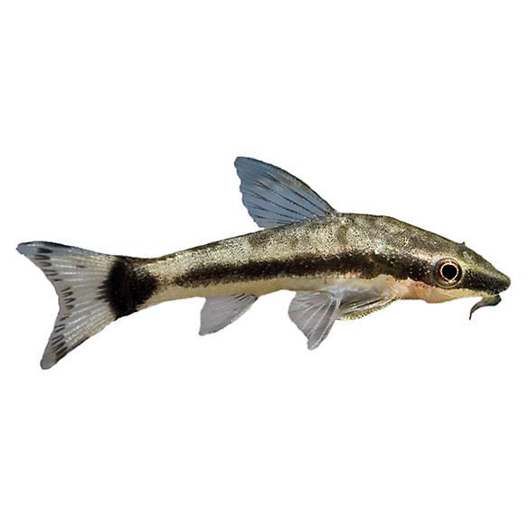 Otocinclus fish goldfish betta more petsmart for Petsmart live fish