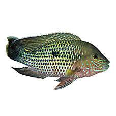 Green Terror Cichlid