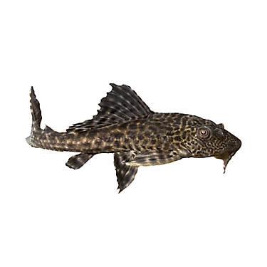 Plecostomus fish goldfish betta more petsmart for Petsmart live fish