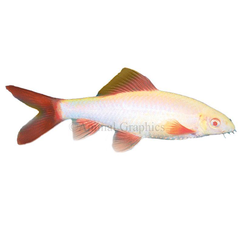 Rainbow Shark Fish Goldfish Betta More Petsmart