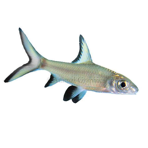 Bala Shark Fish Goldfish Betta More Petsmart