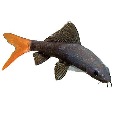 Red tailed shark fish goldfish betta more petsmart for Betta fish petsmart