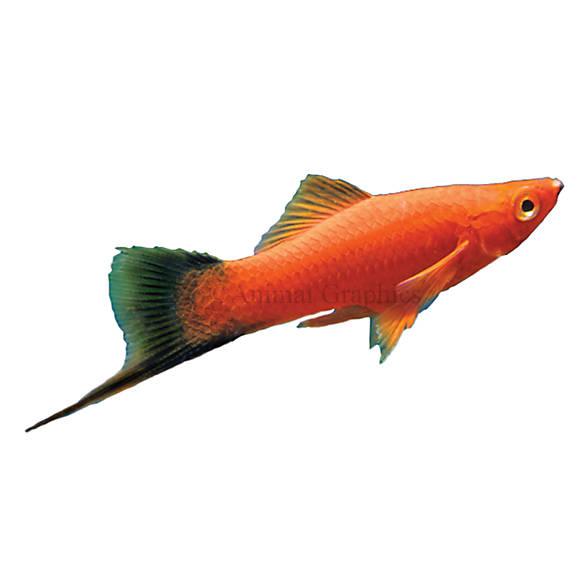 Velvet wag swordtail fish goldfish betta more petsmart for Betta fish at petsmart