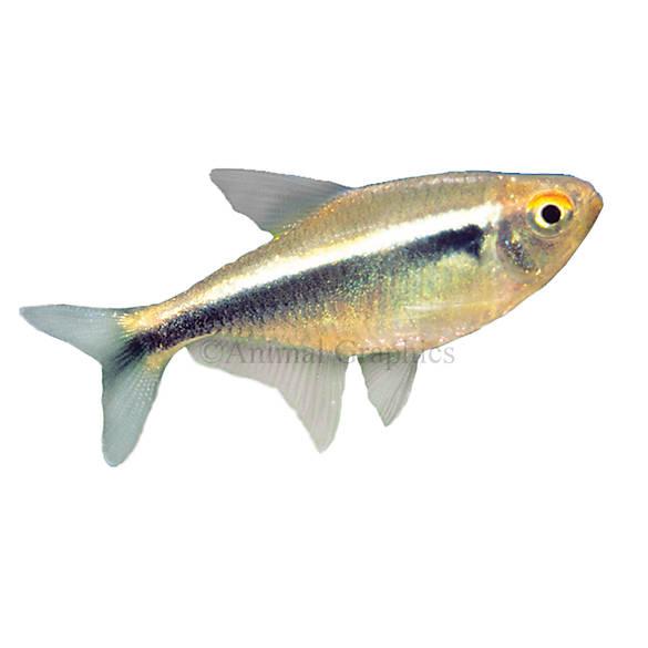 Black neon tetra fish goldfish betta more petsmart for Petsmart com fish