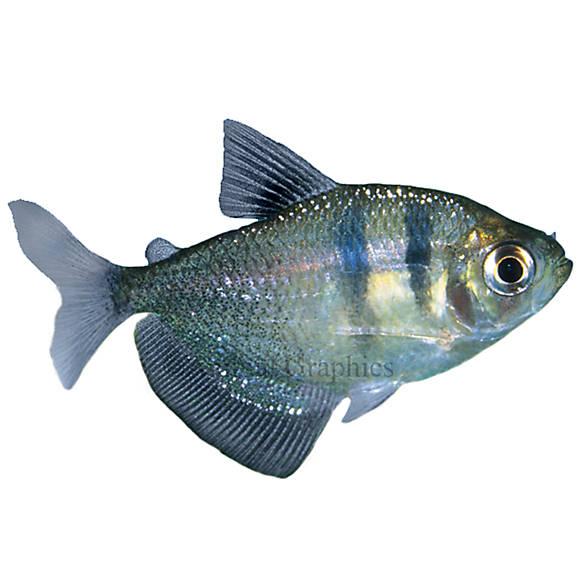 Skirt tetra fish goldfish betta more petsmart for Betta fish at petsmart