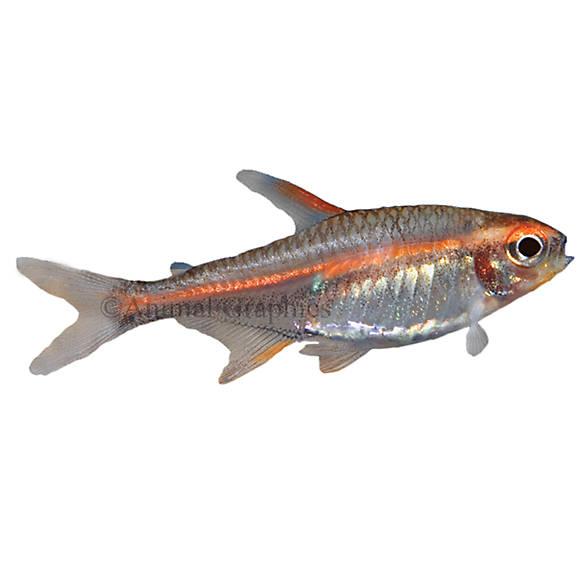 Glow light tetra fish goldfish betta more petsmart for How much are fish at petsmart