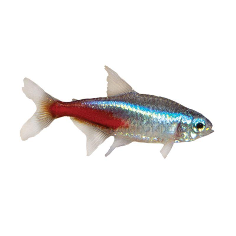 Neon Tetra Fish For Sale Live Pet Fish Petsmart