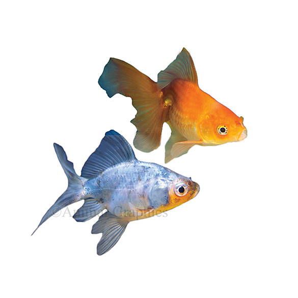 Fantail goldfish fish goldfish betta more petsmart for Betta fish tanks petsmart
