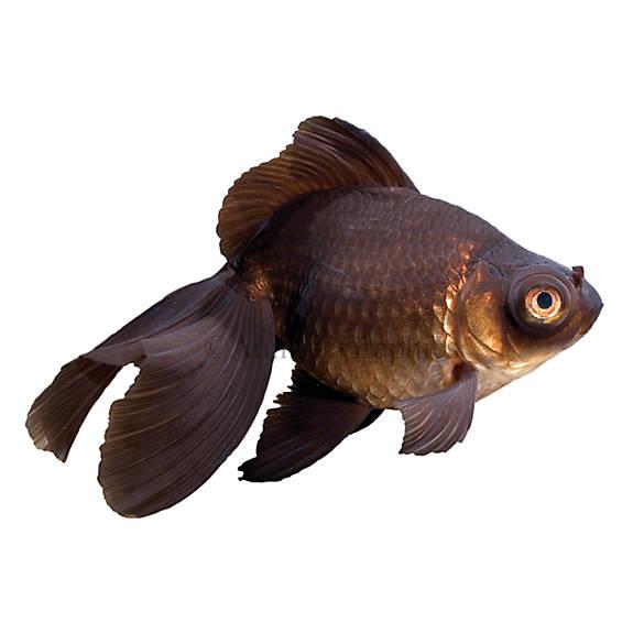 Black moor goldfish fish goldfish betta more petsmart for How much are fish at petsmart