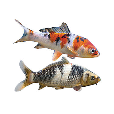 Koi fish goldfish betta more petsmart for Koi fish value