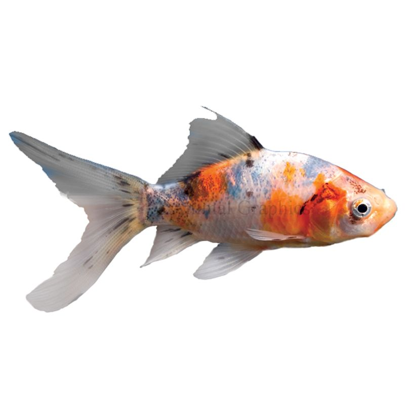 Shubunkin Goldfish Fish Goldfish Betta More Petsmart